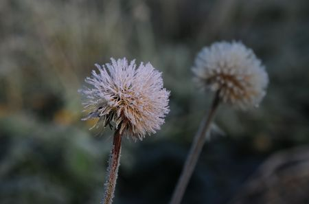 Frozen dandelion caught by the night frost in the late fall photo