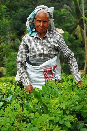 Aged lady tea picker at the tea plantation in Sri Lanka not far away from the city of Kandy, December, 2007.