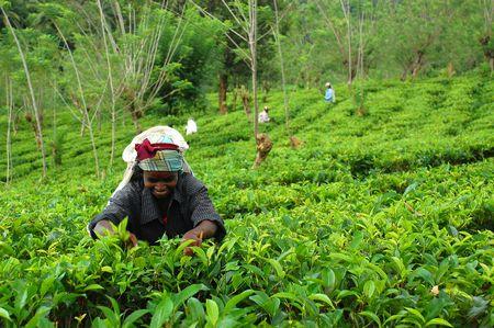 cueillette: S�lecteur de th� � la plantation de th� au Sri Lanka pr�s de la ville de Kandy. Prises en d�cembre 2008.