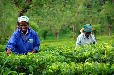 ceylon: Ceylon tea is known all over the world for its taste and flavor. Only Tamil women work at the plantations in Sri Lanka. The civil war is over, and peace has come to this beautiful island and its people. Taken in Sri Lanka near the town of Kandy in Decembe