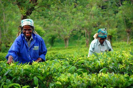 cueillette: Th� de Ceylan est connue partout dans le monde pour sa saveur et la saveur. Seulement tamoul femmes travaillent dans les plantations au Sri Lanka. La guerre civile est sur, et la paix est venu de cette �le magnifique et son peuple. Prises au Sri Lanka, pr�s de la ville de Kandy dans Decembe  Editeur