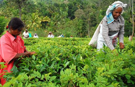 Ceylon tea is known all over the world for its taste and flavor. Only Tamil women work at the plantations in Sri Lanka. The civil war is over, and peace has come to this beautiful island and its people. Taken in Sri Lanka near the town of Kandy in Decembe