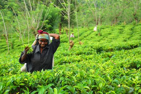 Young Tamil girl is working at the tea plantation in Sri Lanka near the town of Kandy. Taken in December, 2008. At this very time Government troops started attacking Tamil militants in the North of the country.