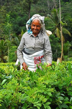 tea estates: Smiling Asian tea picker at the plantation in Sri Lanka near the town of Kandy. Taken in December, 2008.