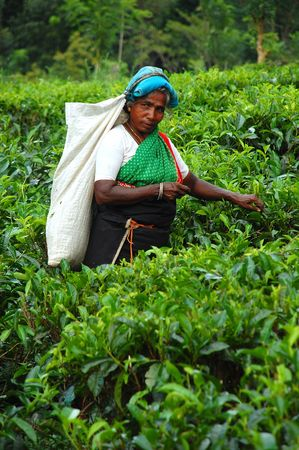 A woman tea picker at the plantation in Sri Lanka at work. Taken in December, 2008 near the town of Kandy.