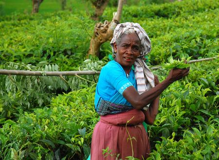 Tea worker at the plantation in Sri Lanka not far away from the town of Kandy. Taken in December, 2008. Editorial