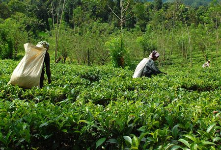 pekoe: Women tea pickers at work at the tea plantation near the town of Kandy in Sri Lanka. Taken in December, 2008.