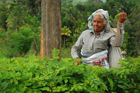 Aged Tea Picker At Work