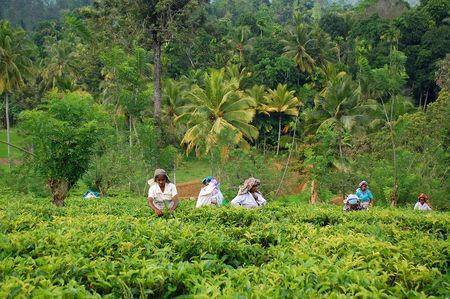 Ceylon tea is known all over the world for its taste and flavor. Only Tamil women work at the plantations in Sri Lanka. The civil war is over, and peace has come to this beautiful island and its people.