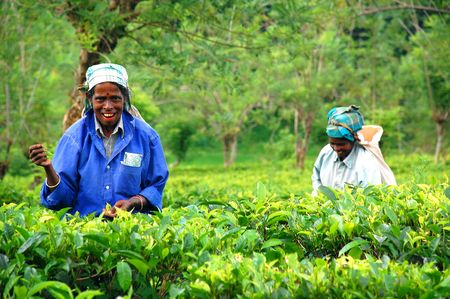 Two smiling women tea pickers at  the plantation near the town of Kandy in Sri Lanka on the 4th of December, 2008