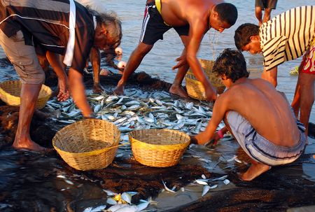 india fisherman: Fishermen in the Indian state of Goa are taking the fish out of the seine in the late afternoon.