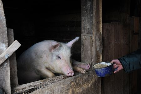 A young pig in the pen and a hand with the meal photo