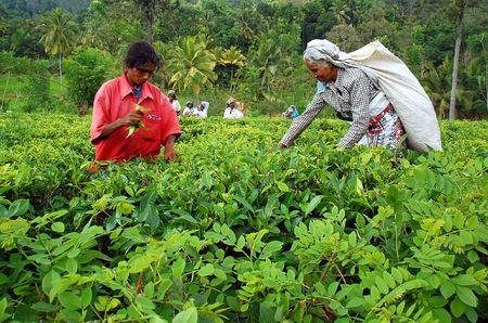 ceylon: KANDY, SRI LANKA - DEC 4: Tamil women tea pickers at the plantation Decr 4, 2008 in Kandy, Sri Lanka. At this very time Government troops started attacking Tamil militants in the North of Sri Lanka
