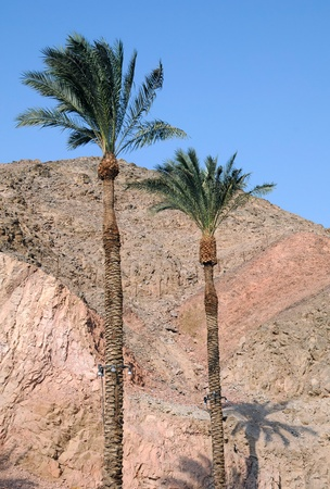 Two palm trees against the background of mountains and blue sky in Eilat, Israel. photo