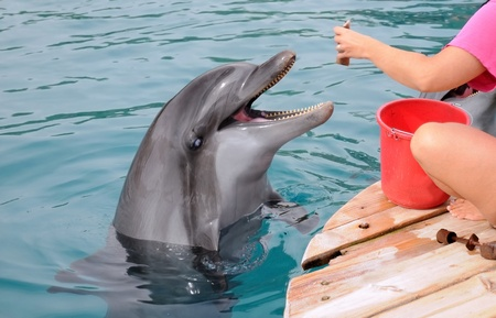 A dolphin is waiting for the trainer to throw fish