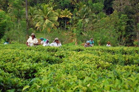 Tamil tea pickers at the plantation in Sri Lanka near the city of Kandy on the 4th of December, 2008