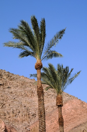 Palms on the wind against the background of the mountains and blue sky on the coast of the Red Sea in Israel photo