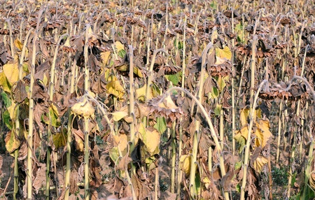 Closeup image of dried droopy sunflowers in the fall on a sunny day Stock Photo