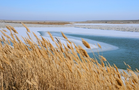 Dry reeds on the bank of the Syr Darya river in the winter in Kazakhstan photo