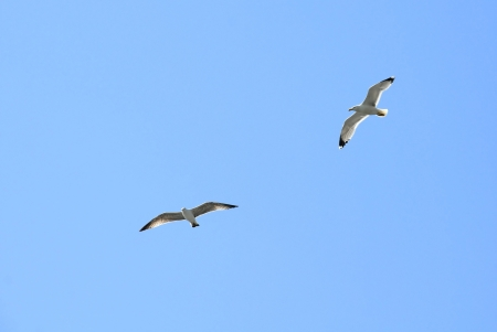 Two seagulls fly together against the blue sky background photo