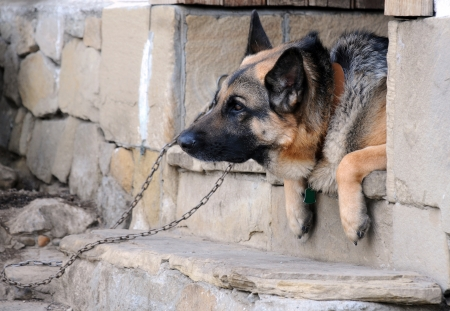 Portrait of the German shepherd on the porch steps photo