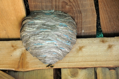 apocrita: Two hornets on the hornets nest on the ceiling of the old barn