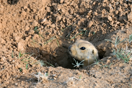 Portrait of a ground squirrel in the hole in Kazakhstan