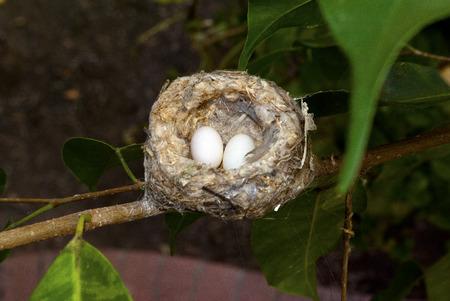 Rufous hummiingbird eggs in a ficus tree, in a backyard in Orange, CA USA