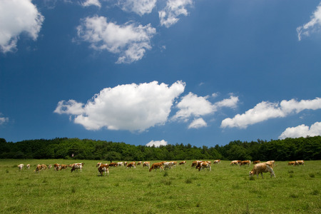 cows on green summer meadow and beautiful blue sky Stock Photo - 1414830