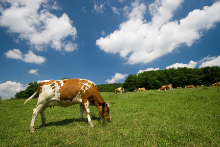 cows on green summer meadow and beautiful blue sky  Stock Photo - 1414825