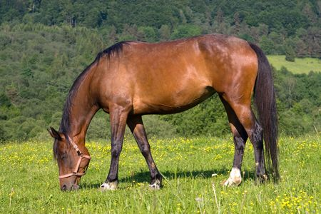 Beautiful Brown horse is grazing on green meadow Stock Photo