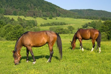 Two brown horses grazing in a pasture.