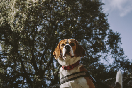 Beagle dog sitting on a rock in the countryside