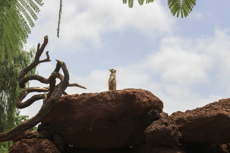 Little meerkat watching over a rock in search of possible threats