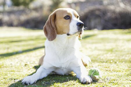 Young tricolor beagle, lying on the grass and watching intently next to his ball after playing Foto de archivo