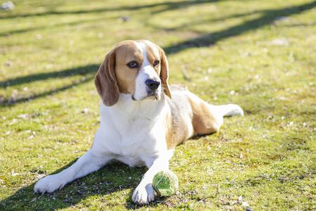 Young tricolor beagle, resting on the grass during a sunny day next to his ball after playing with it Foto de archivo