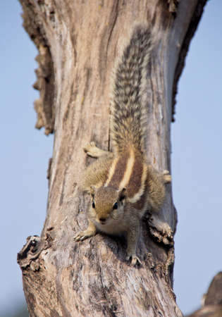 Indian palm squirrel on a dead tree