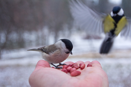 tit bird sitting on hand in the winter.St Petersburg.Russia.