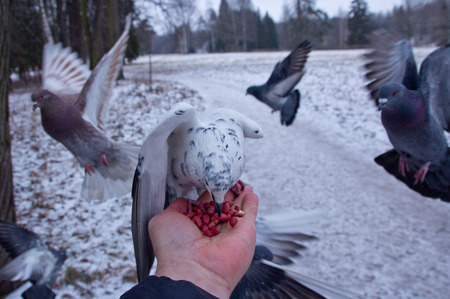 Pigeons peck nuts sitting on a hand.St Petersburg.Russia.