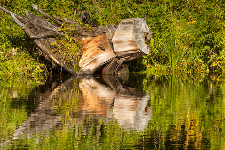 Big snag and its reflection in the pond Imagens