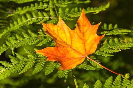 Gele maple leaf op de varen Stockfoto