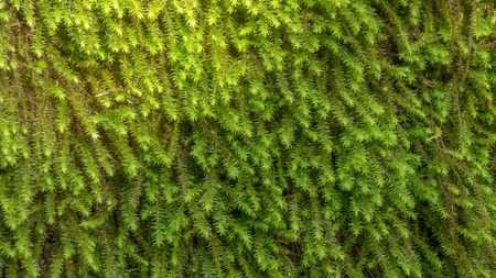 Green moss close-up. Background.