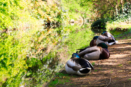 dappled: Ducks Resting in dappled sunlight at the Bank of the canal Waterway at the New River Walk, Canonbury, London