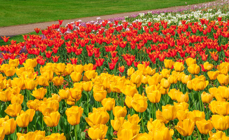 greenwich: Yellow, red and white tulips blooming at the flower garden in Greenwich park of London, UK