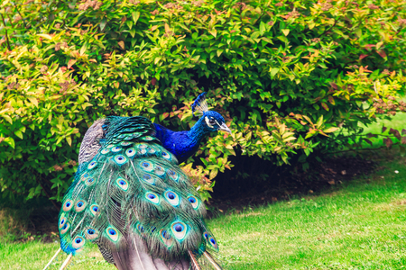 furled: Wild peacock with furled feathers in Holland Park in west London