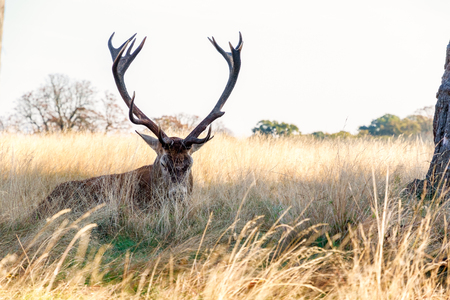 Red deer in Richmond Park, London Stock Photo
