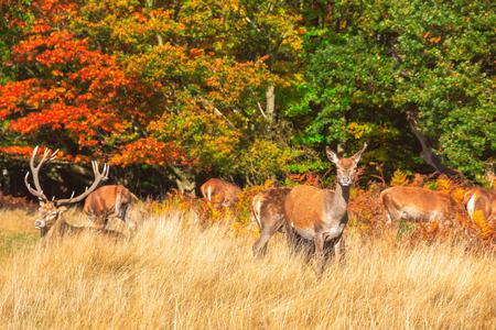 Herd of red deer in Richmond Park, London Stock Photo