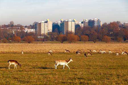 Fallow deer in Richmond Park, London Stock Photo