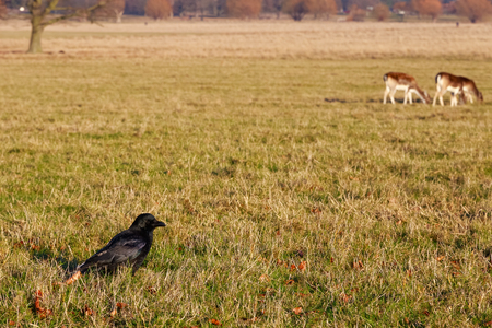 portent: Carrion crow with deer in the background in Richmond Park, London Stock Photo