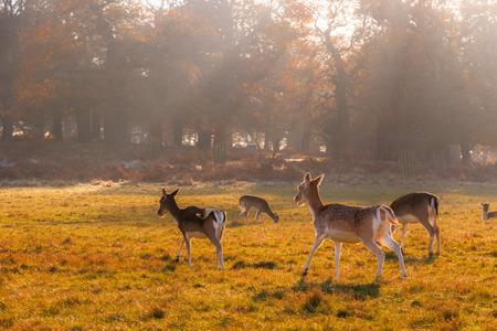 Fallow deer in Richmond Park, London Stock fotó